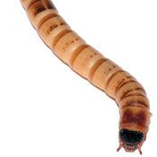 Mealworm Responses