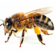 What is the Life Cycle of a Bee?