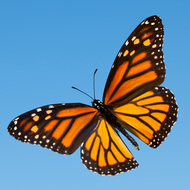 The Life Cycle of the Butterfly and Migration Pattern