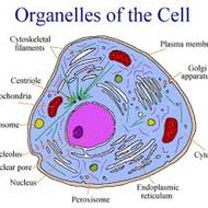 3.2 Organelles