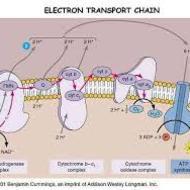Cellular respiration.