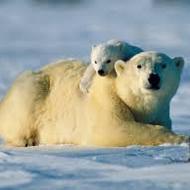 Web based lesson- Polar bears