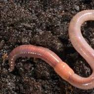 Body Functions of an Earthworm