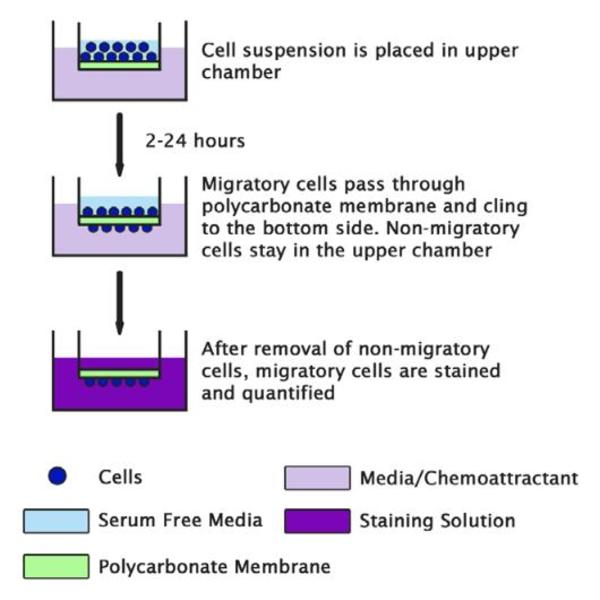 Fibroblast cells