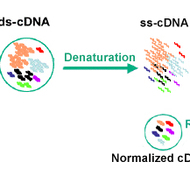 Normalized cDNA Library
