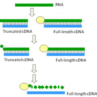 Full Length cDNA Library