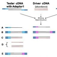 SSH cDNA Library