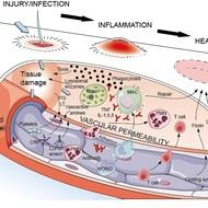 vasoactive amines in inflammation