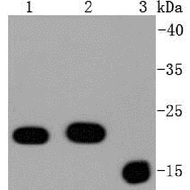 anti bax antibody