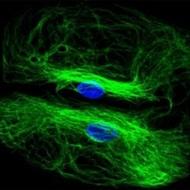 developmental hybridoma