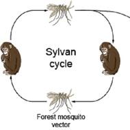 yellow fever virus