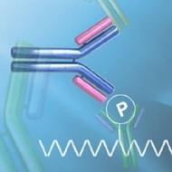 Phospho-specific Antibodies