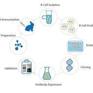Recombinant Rabbit Monoclonal Antibodies