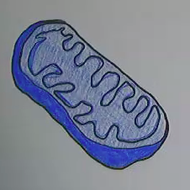 Mitochondria: Structure and Function