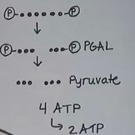 Glycolysis: Phase One of Cellular Respiration