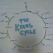 Krebs Cycle: Phase Two of Cellular Respiration