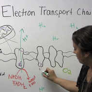Cellular Respiration: Electron Transport Chain
