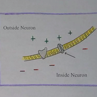 Membrane Potential and Action Potential