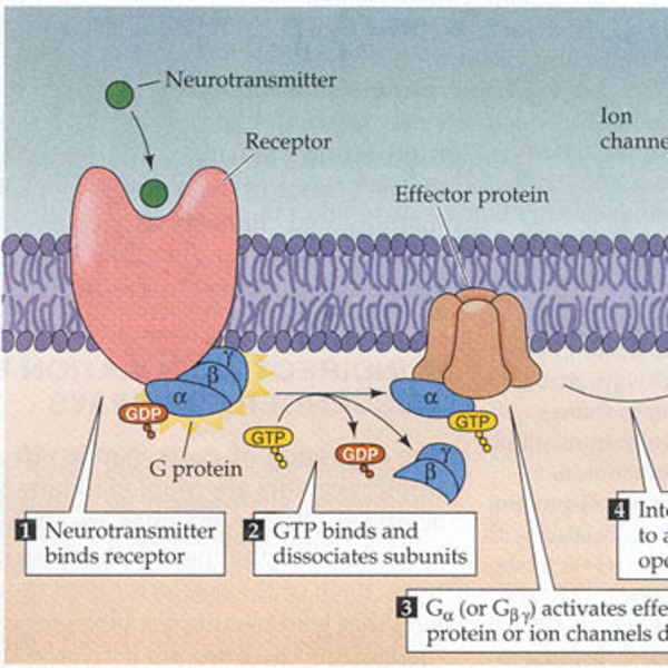 Secondary Messenger System: Adenylyl Cyclase Mechanism