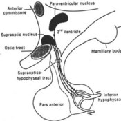 Control of the Pituitary Gland: Neurohypophysis