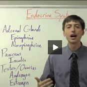 Endocrine System- Adrenal Glands, Pancreas, Testes, and Ovaries