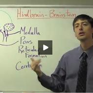 Hindbrain- Brainstem