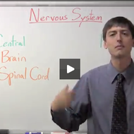 Nervous System- Central and Peripheral