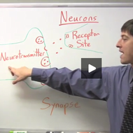 Neuron Communication- Synapses and Neurotransmitters
