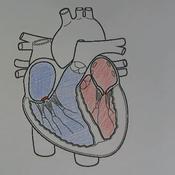 Cardiac Cycle and Cardiac Conduction System