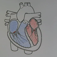 Cardiac Cycle and Cardiac Conduction System