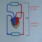 Pulmonary and Systemic Circuit