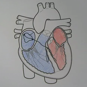Cardiac Conduction System Overview