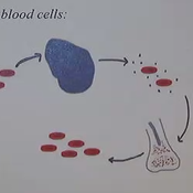 Red Blood Cells and Hemoglobin