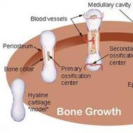 Bone Structure and Growth
