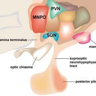 Antidiuretic Hormone (ADH {Vasopressin})