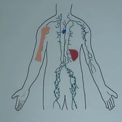 Lymphatic System: Structure and Function