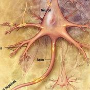 Neurons:  Communication