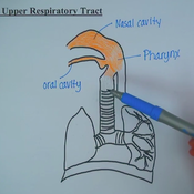 Upper Respiratory Tract: Structure and Function Overview