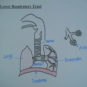 Lower Respiratory Tract: Structure and Function Overview