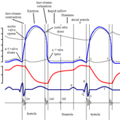 an overview of the normal cardiac cycle The cardiac cycle describes the cycle of events that occur when the heart beats it consists of a diastole phase and a systole phase.