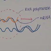 Protein Synthesis: Transcription