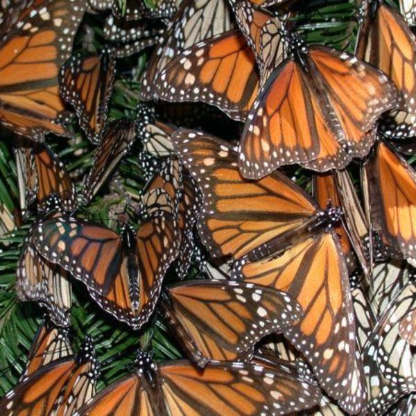 Equation Application: Butterfly Migration