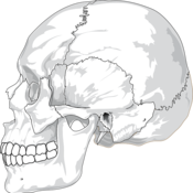 Introduction to Skeletal Anatomy