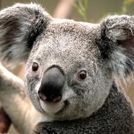 "Kung Fu Koala"" i will destroy you"" White wizzard"
