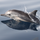 Newborn spinner dolphin