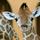 143 giraffe20110901 9353 1a7ttqw 0