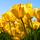 Tulips20110901 9353 iq00pb 0